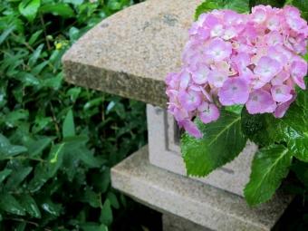 紫陽花 庭 に 植え て は いけない