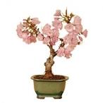 盆栽 一才桜 2,160円