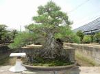 松 樹齢300年 7,000,000円